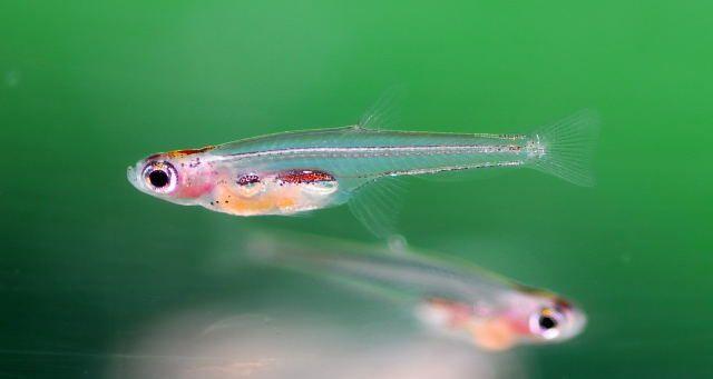 Meet the World's Smallest Fish
