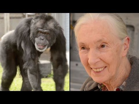 Jane Goodall Is Hugged By Rescued Chimp.Touching ...