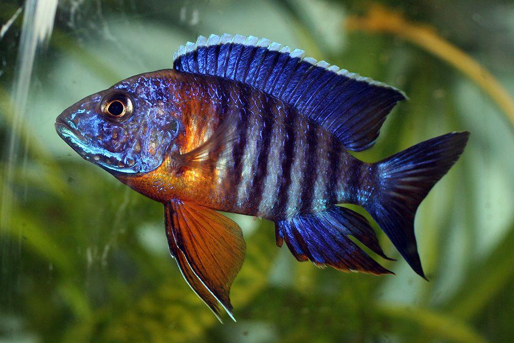 poisson exotique d eau douce liste er71 humatraffin. Black Bedroom Furniture Sets. Home Design Ideas