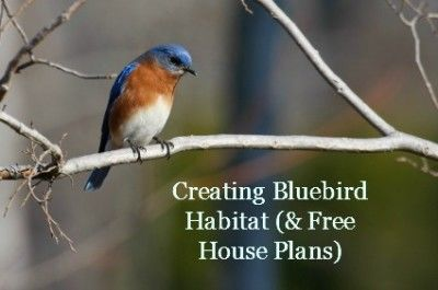 Bluebirds Are Beautiful Birds For Your Backyard, And Attracting Them Is  Easy If You Know