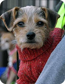 Washington Dc Border Terrier Yorkie Yorkshire Terrier Mix