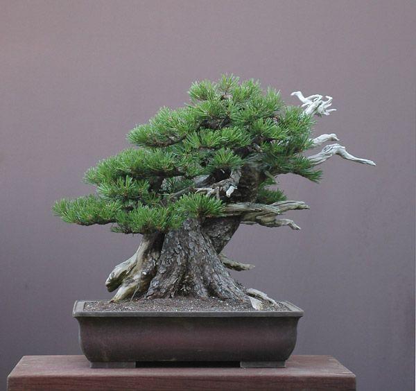 bonsai mugo pine pinus mugo the mountain pine or mugo. Black Bedroom Furniture Sets. Home Design Ideas