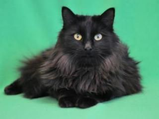 What A Handsome Long Haired Black Cat Look At That Ruff Albert Male Domestic Longhair At Animal Humane Society Russian Blue Cat Gorgeous Cats Russian Blue