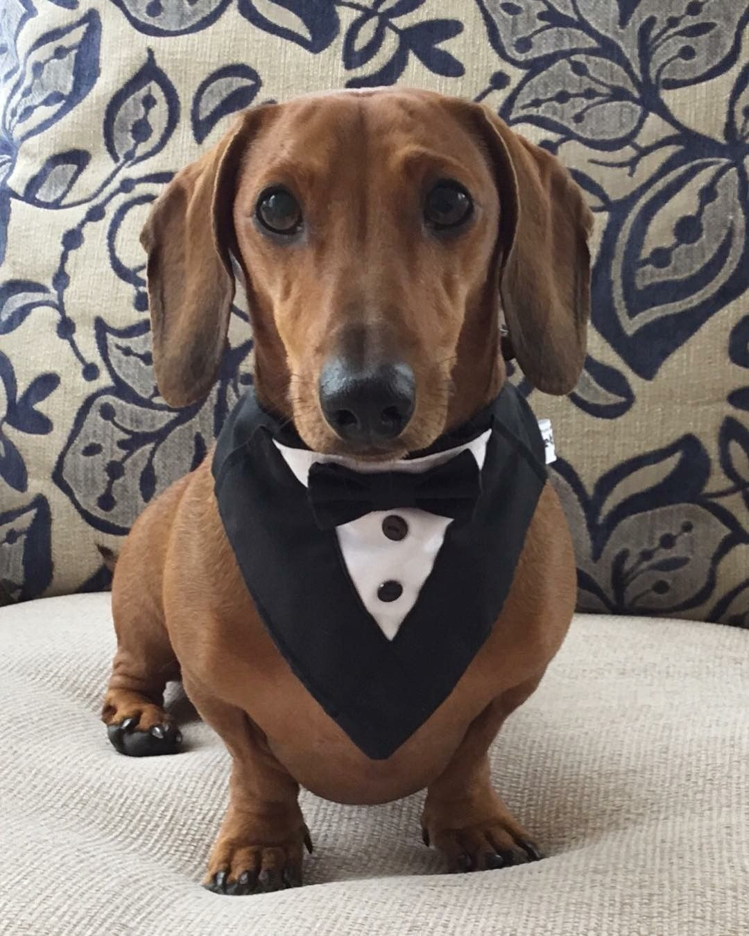 Formal Aggressive Dog Dachshund Breed Dachshund