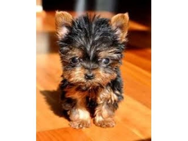 Akc Tea Cup Yorkshire Puppies For Adoption Yorkie Puppy Micro