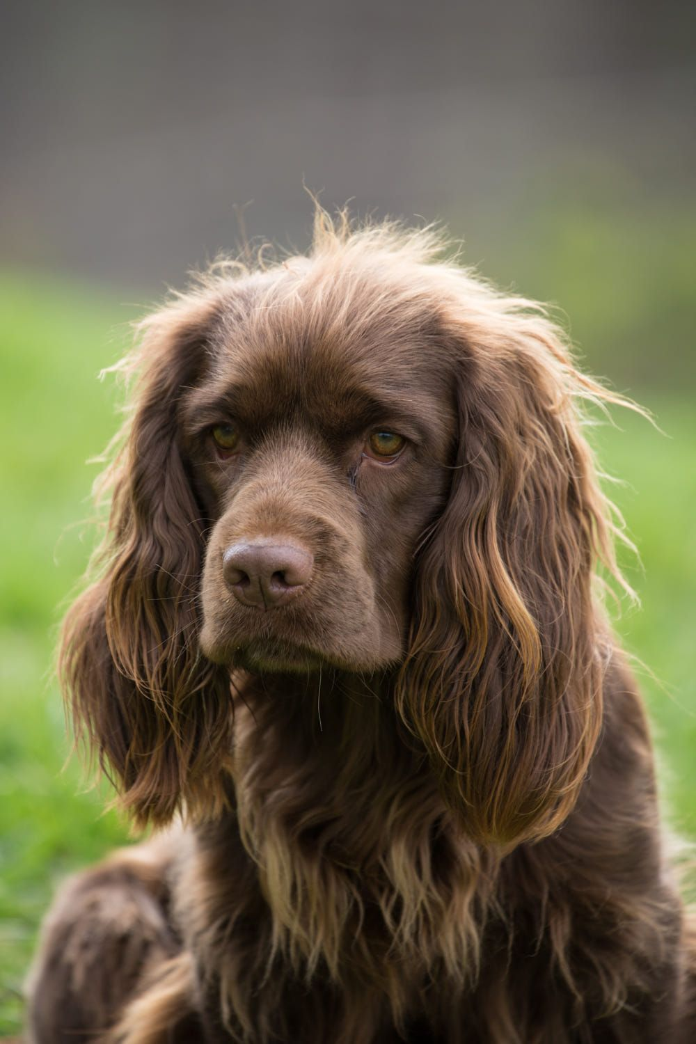 Pin On Sussex Spaniel