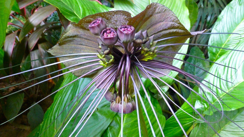 Amazon Com Tacca Chantrieri Black Bat Flower 20 Seeds Garden Outdoor Bat Flower Unusual Plants Unique Plants