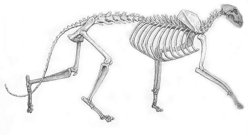 Snow leopard anatomy