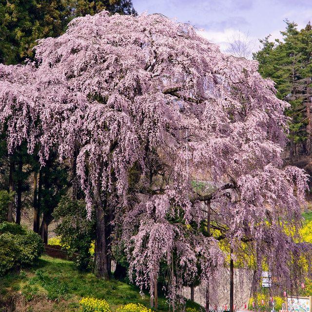 Weeping Cherry My Favorite Tree Weeping Cherry Tree Cherry Blossom Tree Blossom Trees