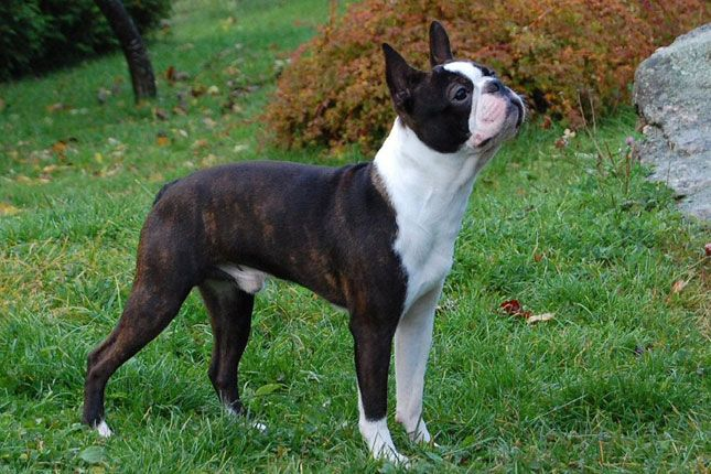 Boston Terrier Boston Terrier Puppy Boston Terrier Dog Dog Breeder