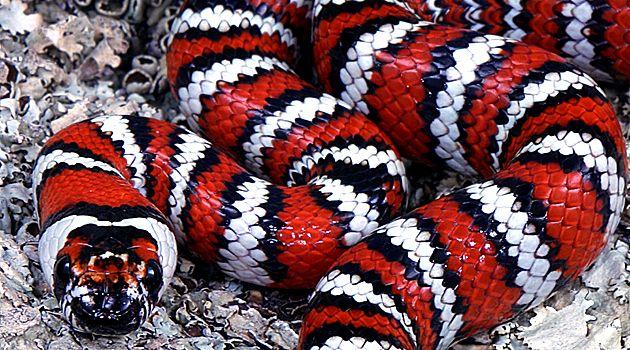 California Mountain Kingsnake  Snakes  Snake, Milk Snake -7291