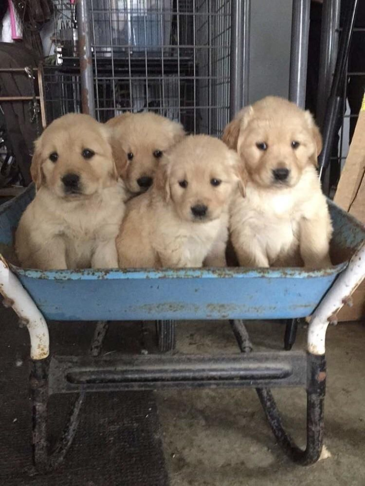 My Best Friends 4 Week Old Golden Retriever Pups Http Ift Tt 2q0dnfy Old Golden Retriever Golden Retriever Puppies