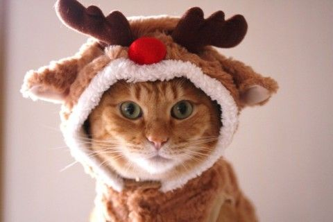 23 Cute Animals Ready for the Holidays | Christmas cats, Cat dressed up, Christmas animals