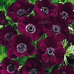 Poppy Anemone Burgundy Anemone Flower Love Flowers Anemone