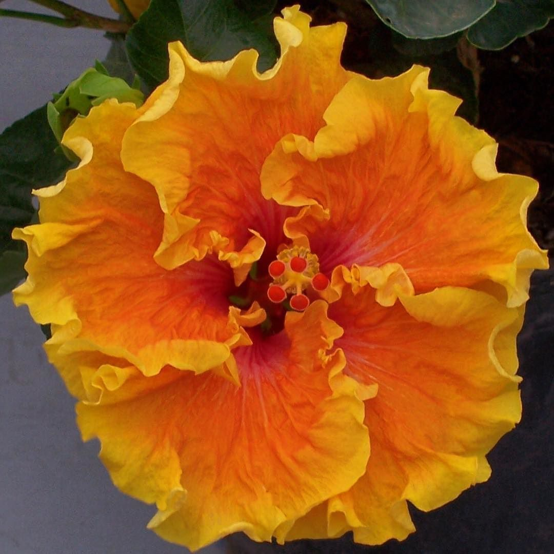 Heat Flash Cajun Hibiscus Yellow To Pink Blooms Brighten Any