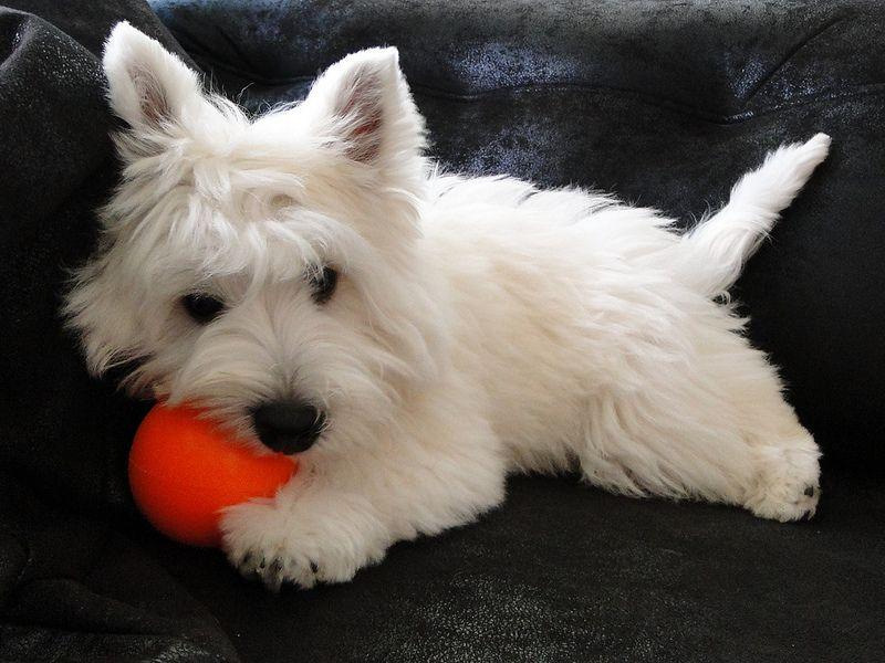 West Highland White Terrier Westies White Terrier West