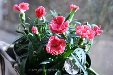 How To Care For Mini Carnations Mini Carnations Carnation Plants Carnations