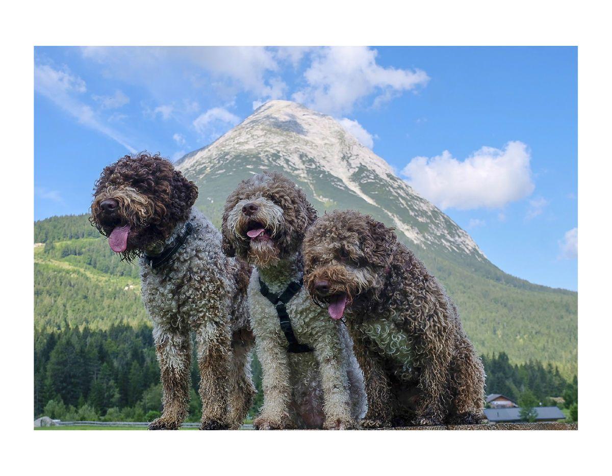 Lagotto Romagnolo In The Alps 2019 Calendar Create Photo Calendars Lagotto Romagnolo Water Dog Cute Animals