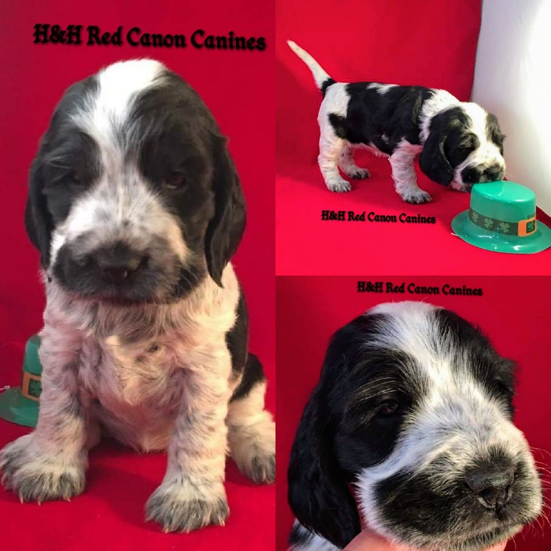 H Amp H Red Canon Canines Doodles English Cocker Spaniel Cocker Spaniel Puppies For Sale Spaniel Puppies For Sale Cocker Spaniel Puppies Canine
