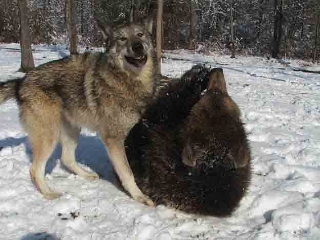 Image result for wolf and grizzly cub