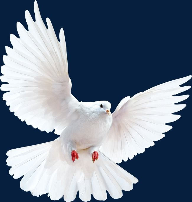 Peace Dove Peace Fly Png And Vector With Transparent Background For Free Download Dove Pictures Peace Dove Dove Images