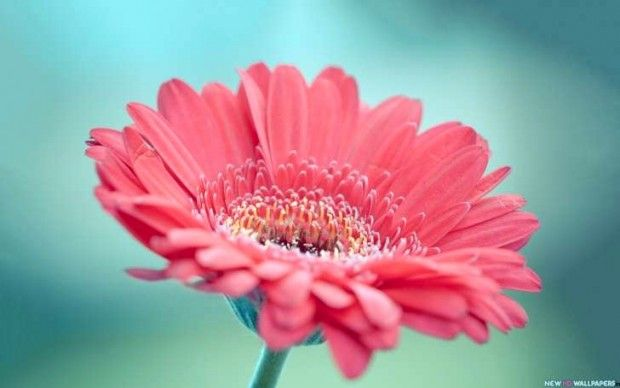 Beautiful Flower Large Pink Gerbera Hd Wallpaper High Definition Blog Fondo De Pantalla De Margarita Papel Pintado Flores Flores Bonitas