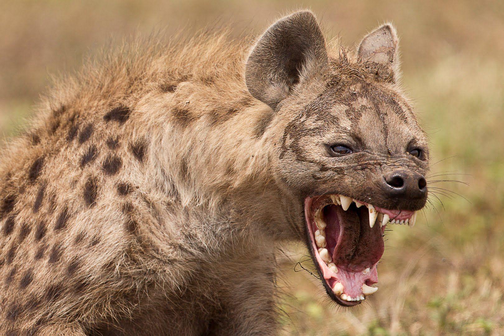 Hyena - Animal Planet Wild Life Documentary 2016 | Hässliche tiere, Wilde  hunde, Tiere wild