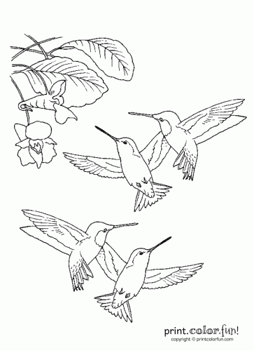 Hummingbirds printable coloring page Printables