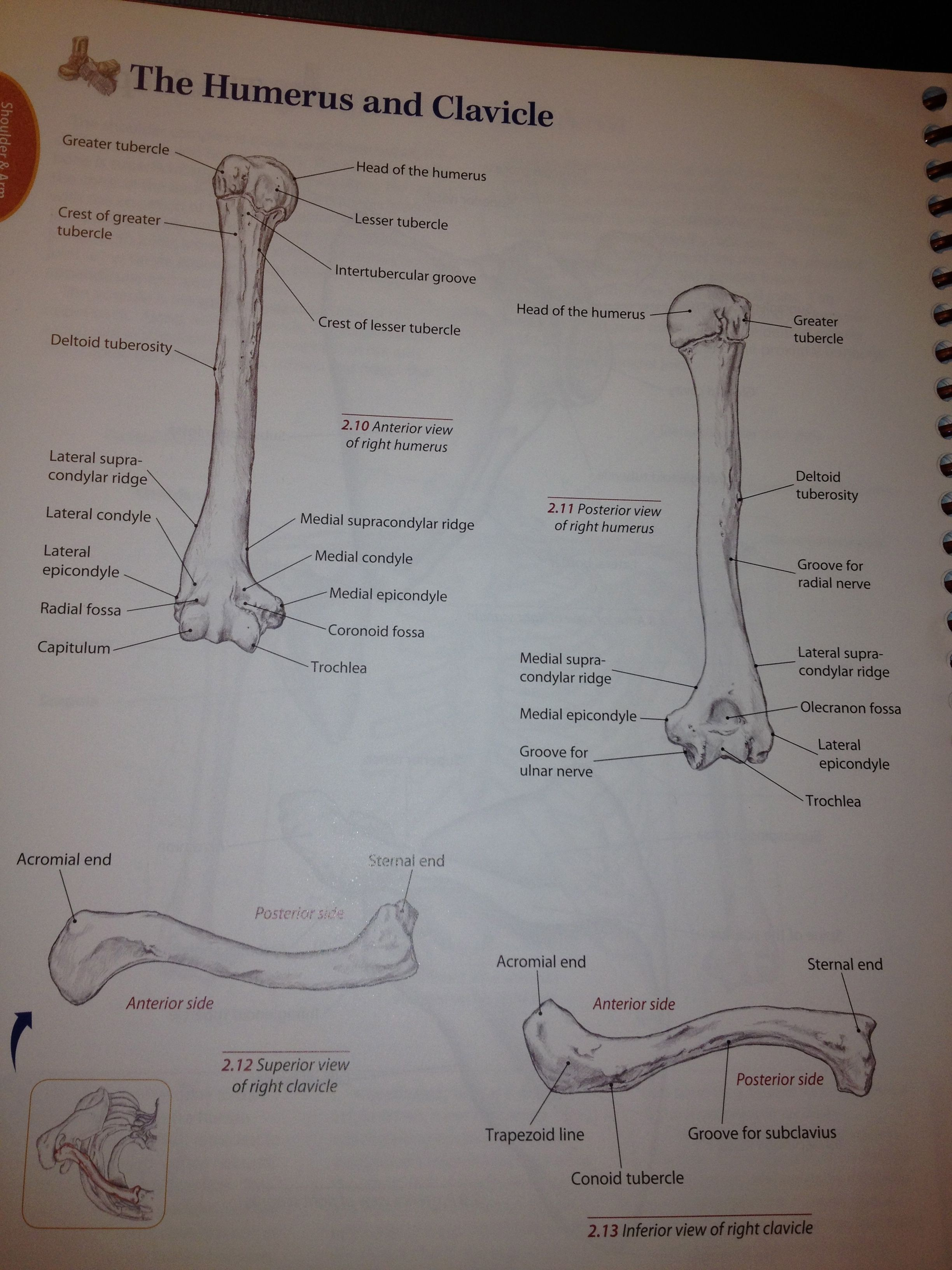 Boney Landmarks Of The Humerus And Clavicle