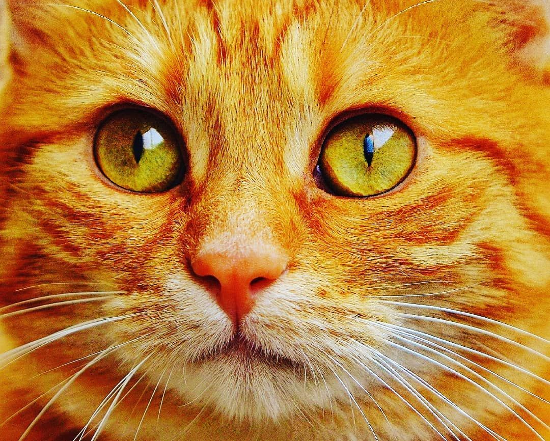 Cat Whiskers Small To Medium Sized Cats Mammal Felidae Face Close Up Nose Snout Eye Head Car Orange Tabby Cats Tabby Cat Pictures Cat With Blue Eyes