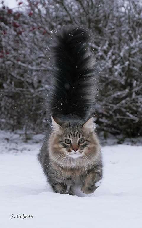 Image by Shawn Oberhokamp on cats Grey tabby cats