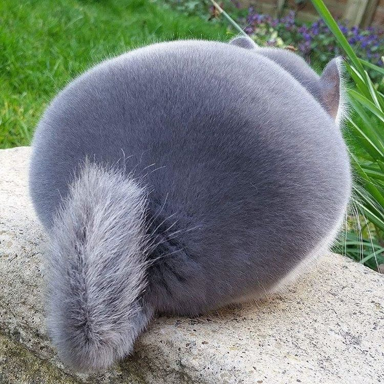 Chinchilla butts are our new favorite butts in the entire world