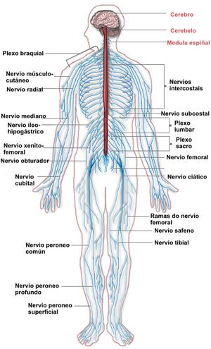 Anatomía/Aparato Nervioso - Wikilibros | Cuerpo humano | Pinterest ...