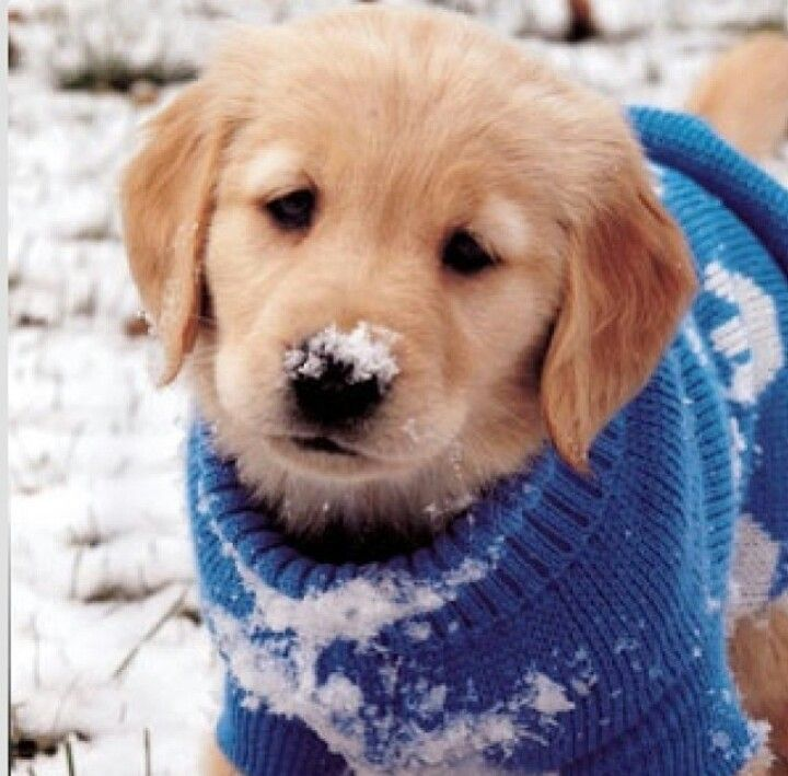 Cute Golden Retriever In Snow Animals Cute Puppies Dogs