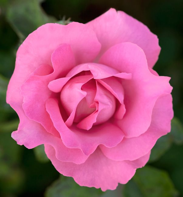Love Garden Roses: MEILLAND International