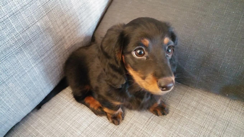 Pin de cláudio marques timbeta em cute pinterest dachshund