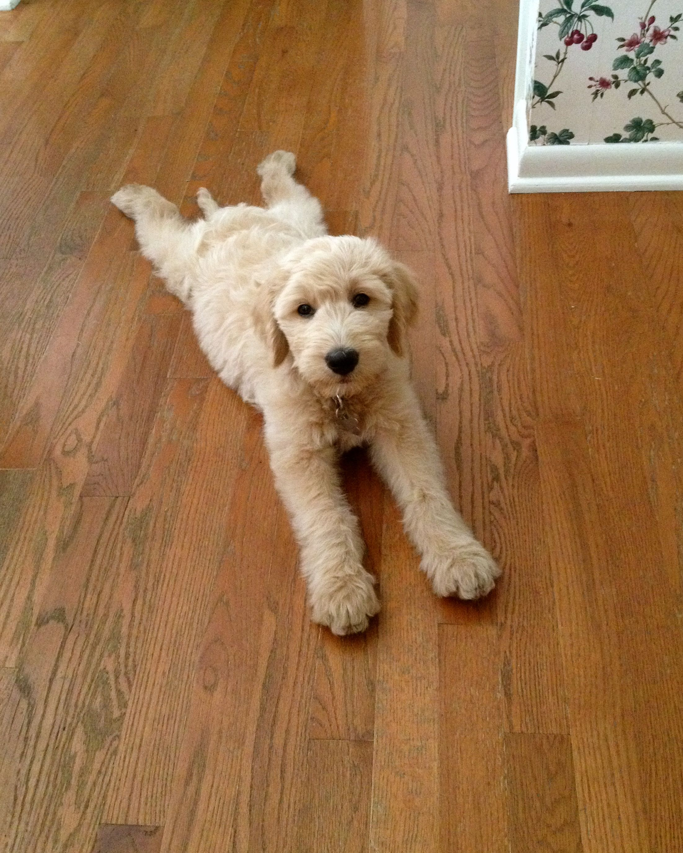 #Goldendoodle Puppy