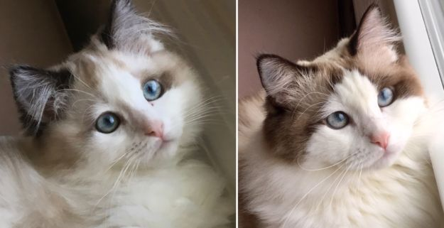 Ragdoll Cats Colors Ragdoll Colors Ragdoll Katzenfarben Couleurs De Chats Ragdoll Colores De Gatos De Trapo In 2020 Ragdoll Cat Colors Cat Colors Ragdoll Cat