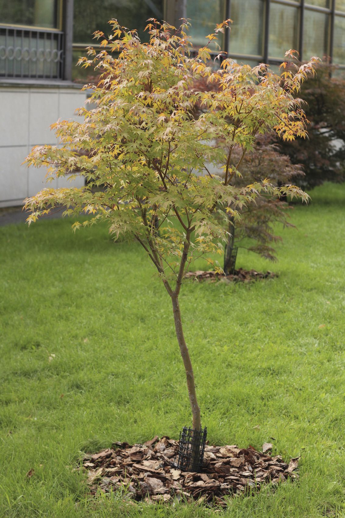 Japanese maple: planting, care 88