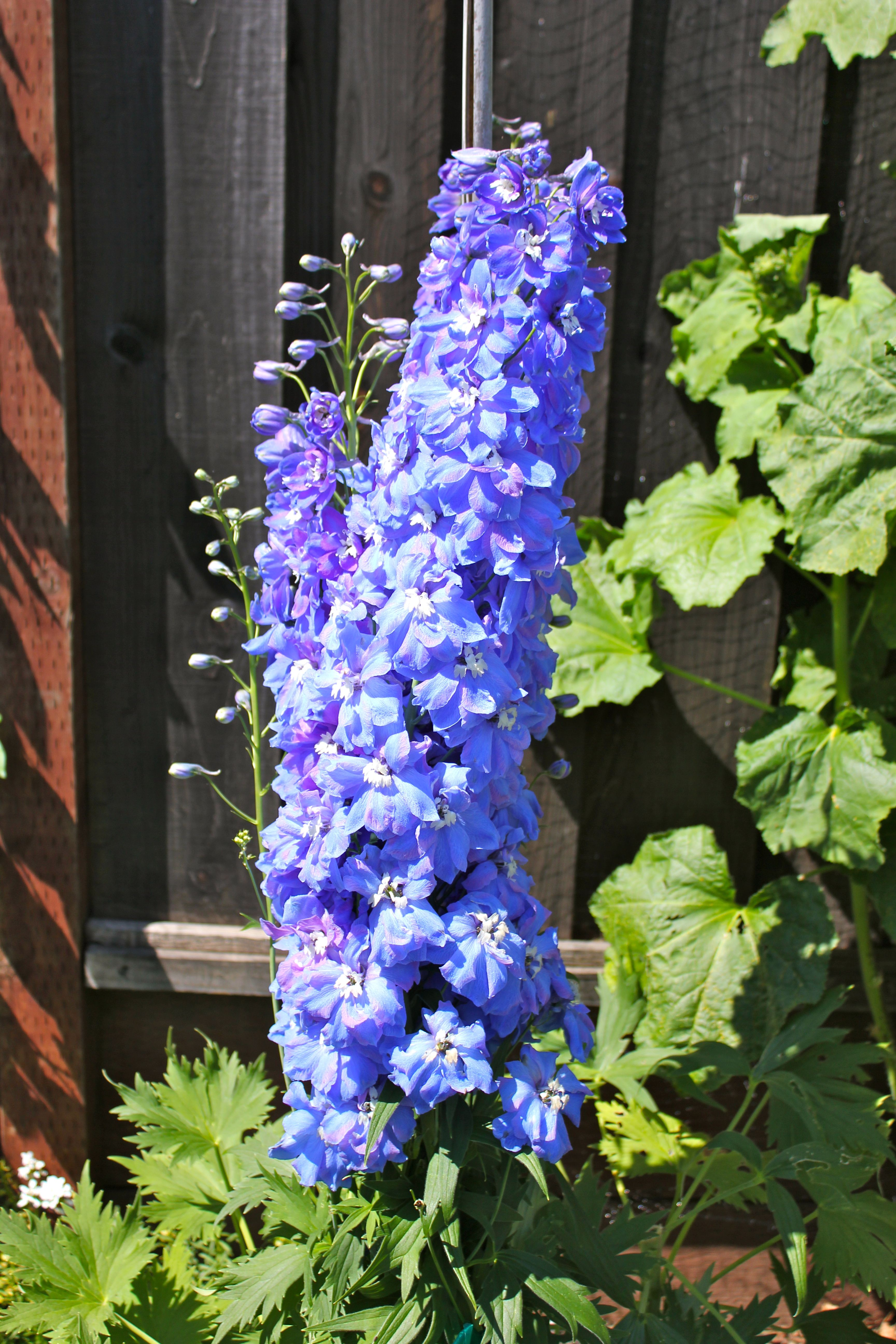 Tall Blue Delphinium Blues And Purples Pinterest Blue Flowers