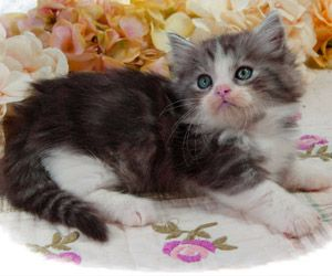 Napoleon Kittens For Sale Persian Kittens Saint Louis Munchkin Kittens Munchkin Kitten Munchkin Cat Persian Kittens