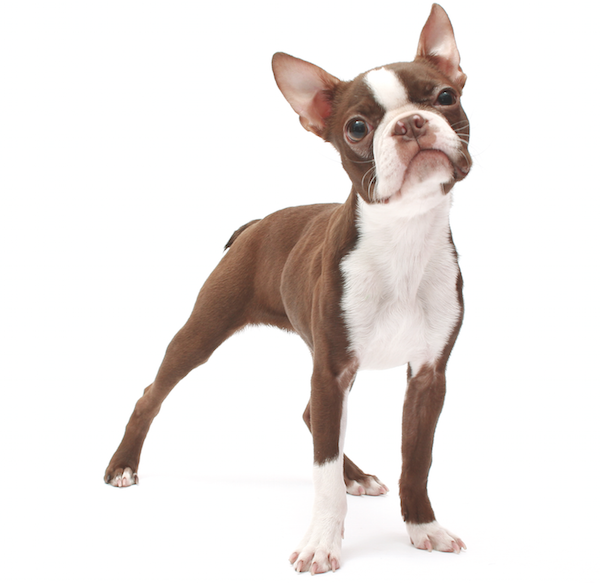 Meet The Boston Terrier Such A Gentleman And A Lady Boston Terrier Puppy Boston Terrier Funny Brindle Boston Terrier