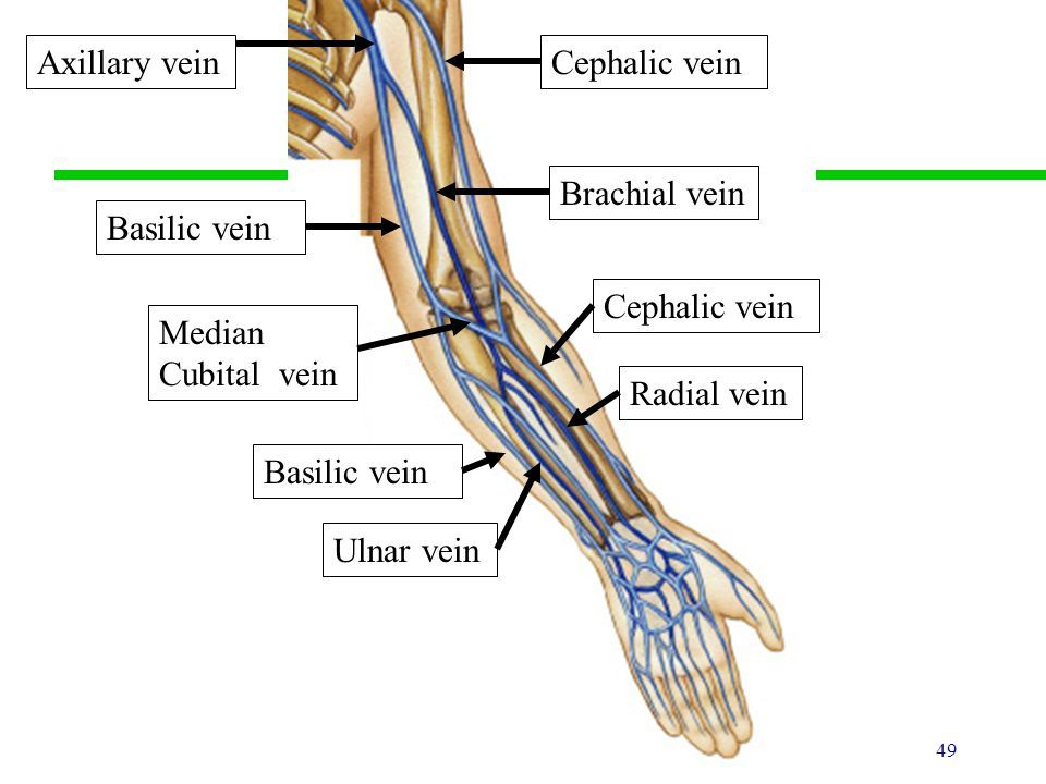 Left Brachial Vein Cephalic Vein Antecubital Vein Location