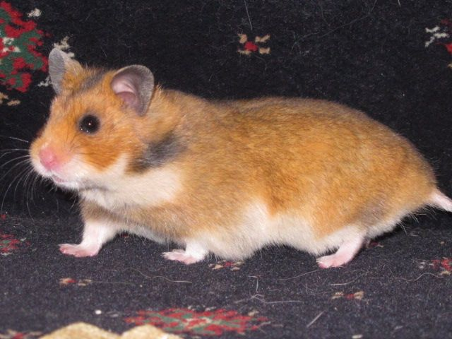 Our Syrians Tuftyfluff Hamsters Cute Hamsters Hamster Syrian Hamster