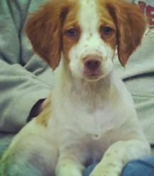 Adopt George On Brittany Spaniel Dogs Brittany Spaniel