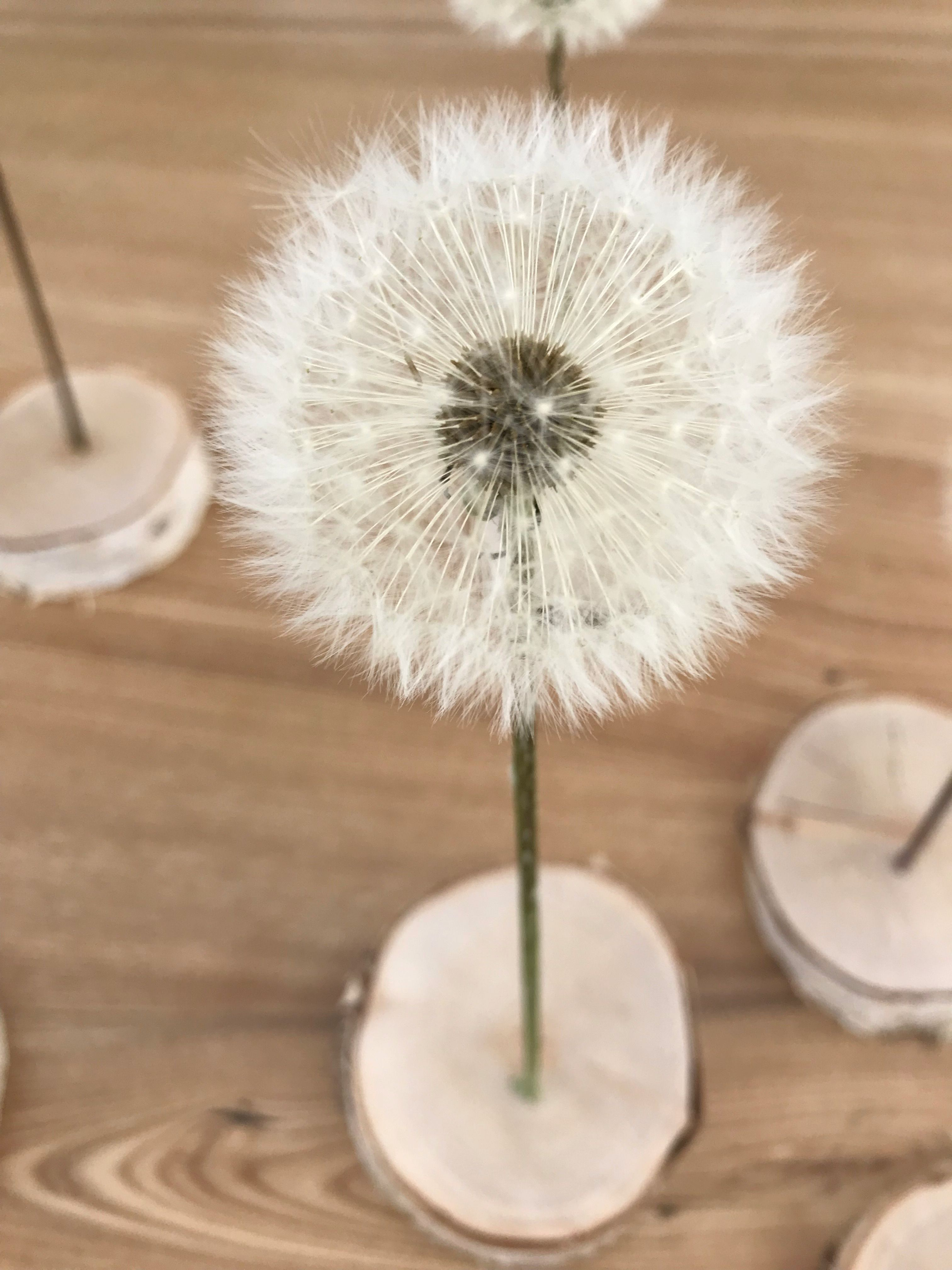 Photo of eine Pusteblume für DICH #naturalism … eine Pusteblume auf einer kleinen Holz…