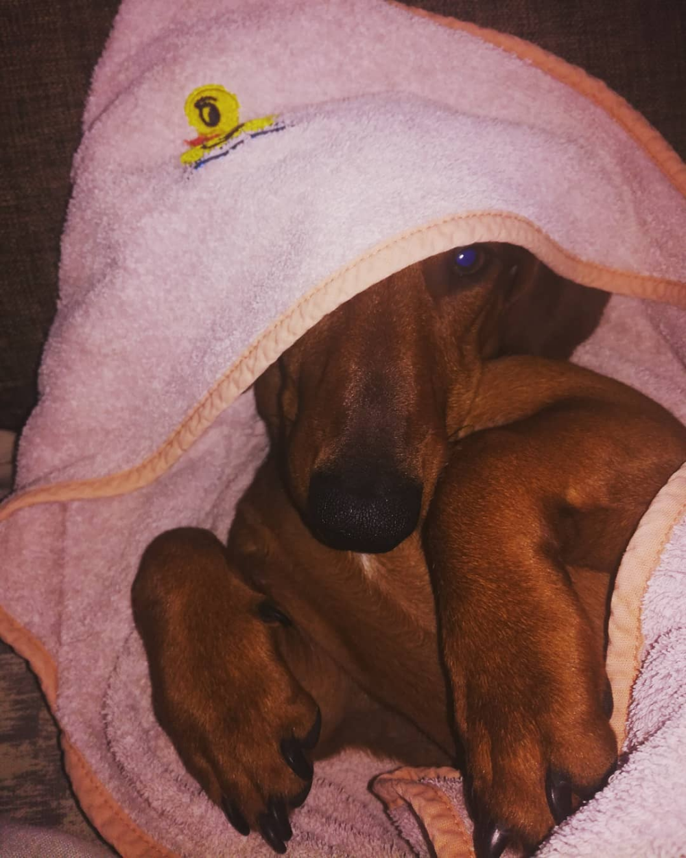 14 Things Only Dachshund Parents Understand The Paws Dachshund Puppy Miniature Dachshund Pets Dachshund
