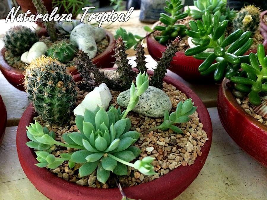 Naturaleza tropical nos cuenta sus trucos para el cuidado for Cactus cuidados interior