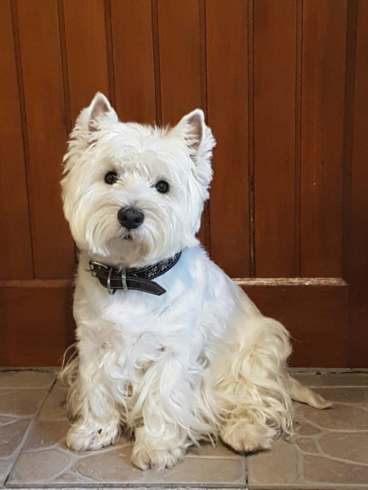 Pin By Maria Cazares On Puppies Westie Terrier