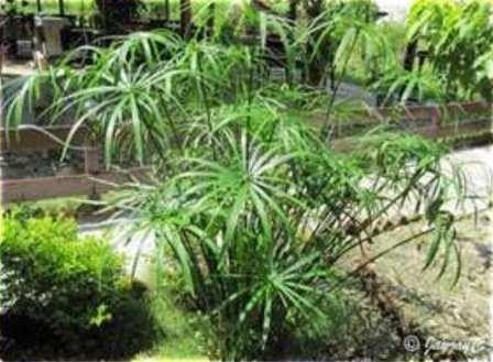Dwarf umbrella grass